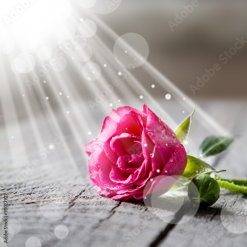 Beautiful pink rose with water drops on rustic background #98027927