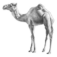 Illustration With Camel