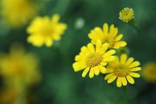 Yellow Daisey Flower.