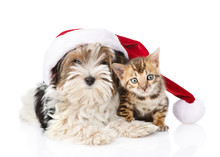 Bengal Cat And Biewer-Yorkshire Terrier Puppy With Red Santa Hat