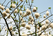 White Silk Cotton Tree.