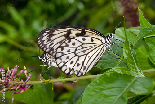 Fotografie, Tablou  Tree Nymph (Idea leuconoe) also known as Paper Kite Butterfly (mating)
