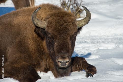 Aluminium Prints Bison european bison on snow background