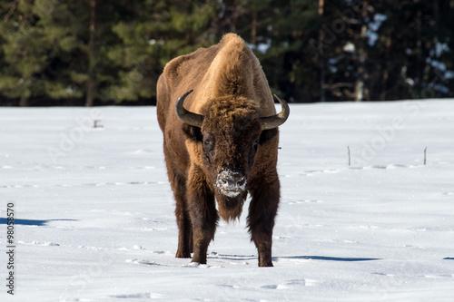 Fényképezés  european bison on snow background
