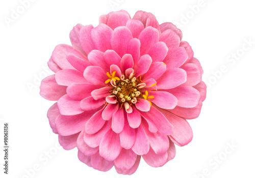 Photo  Mona Lisa flower, Pink flower, Spring flower.Isolated on white b