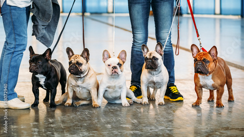 Ingelijste posters Franse bulldog The French Bulldogs are different color next to each other