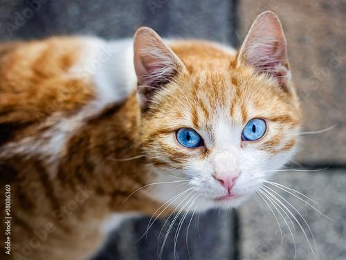 Papel de parede  Hermoso gato con ojos azules