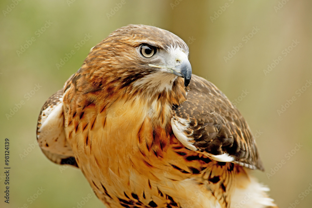 Fotografie, Obraz Head shot of a Red Tailed Hawk with green background.