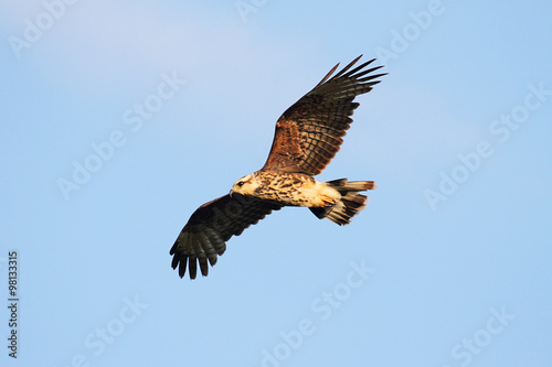 Aufkleber - Endangered Female Snail Kite