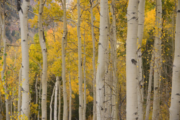 Fototapeta Brzoza yellow aspen in autumn