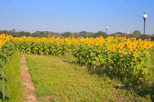 Tuinposter Wijngaard Walkway in sunflower farm