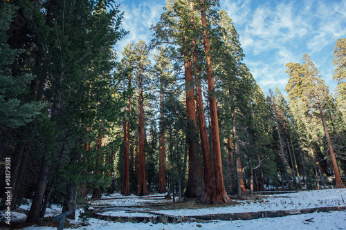 Poster de jardin Parc Naturel Groups of Sequoia Trees in a Snowy Forest Setting