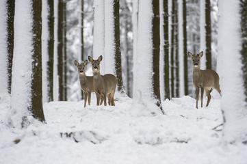 Fototapeta Zwierzęta chevreuils dans la neige en hiver