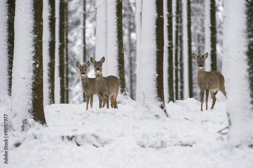 Foto op Aluminium Hert chevreuils dans la neige en hiver