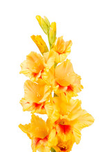 Yellow Gladiolus Flower