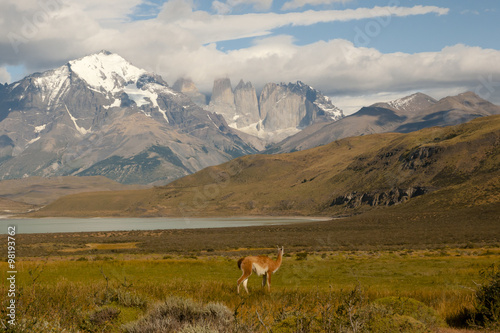 Wall mural - Guanaco - Torres Del Paine National Park - Chile