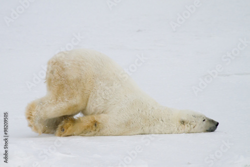 Photo sur Aluminium Ours Blanc silly polar bear