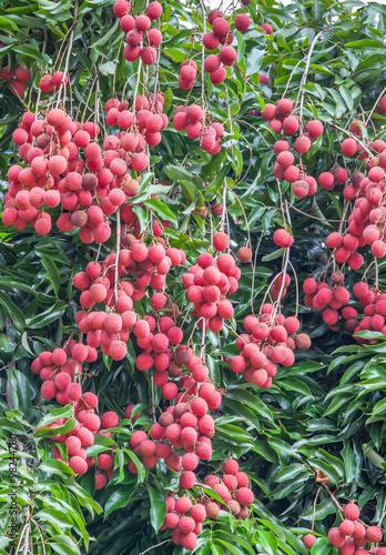 letchis de la Réunion, grappes de fruits mûrs sur l'arbre