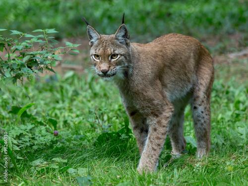 Staande foto Lynx Auge in Auge mit dem Luchs