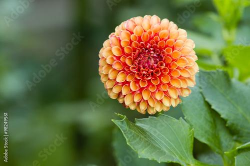 In de dag Dahlia Orange Peach Dahlia