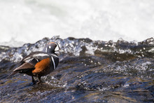 A Harlequin Duck Standing On R...