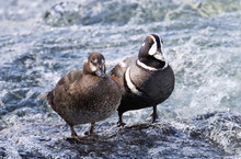 A Harlequin Duck Pair Standing...
