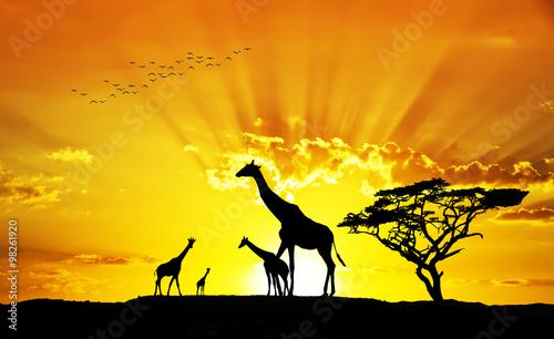 Poster Jaune jirafas salvajes bajo el sol de Africa