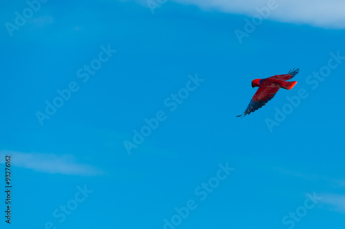 Red Bird parrot Gliding Freely in the clear blue sky - Buy this