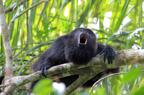 Foto op Canvas Aap Black Howler monkey, in Belize, howling