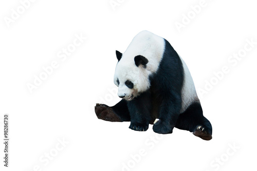 Canvas Prints Panda giant panda bear isolated on white