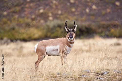 Antelope grazing in open field.