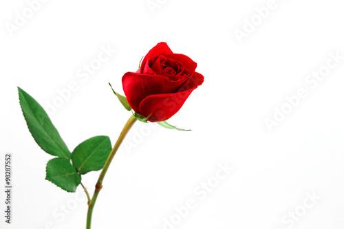 Fotografie, Obraz  single red rose on white background