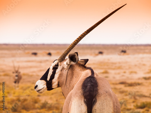 Detailed view of gemsbok antelope