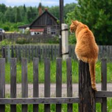 Рыжий кот, сидящий на заборе