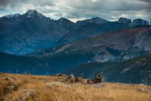Wild Bighorn Sheep Ovis Canade...