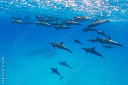 Poster Dolfijn Spinner Dolphins