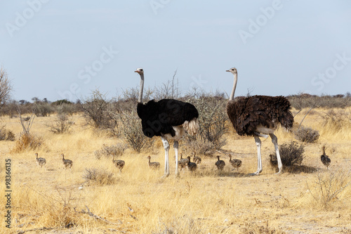Staande foto Struisvogel Family of Ostrich with chickens, Namibia