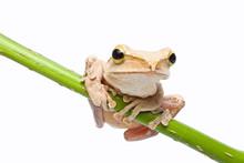 Tree Frog On Papyrus Tree