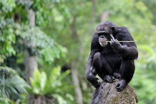 Fotografiet An Adult Chimpanzee with Blurry Background and Empty Space for Text