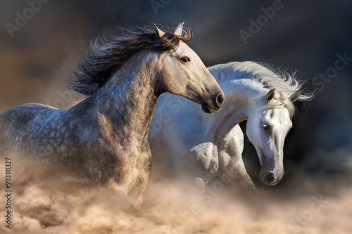 Couple of horse run in dust at sunset light плакат