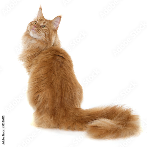Valokuvatapetti maine coon cat