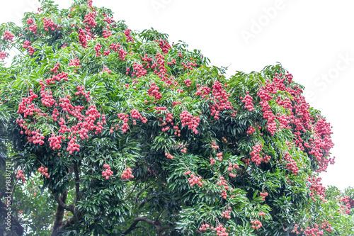 litchi, arbre fruitier, île d la Réunion