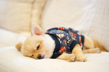 Sleepy Pomeranian Wearing Dog T-shirt Napping On The Sofa