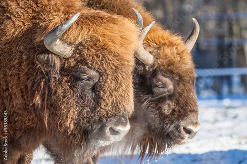 Obraz Żubry (Bison bonasus) w Puszczy Białowieskiej - fototapety do salonu