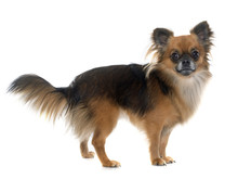 Long Hair Chihuahua