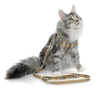 Maine Coon Cat And Harness