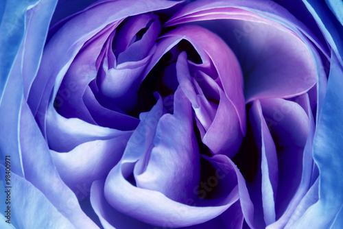 fototapeta na lodówkę pink rose in the detail