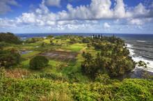 Taro Fields In Hawaii