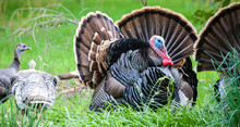 North American Wild Turkeys Du...