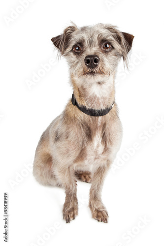 Photographie  Attentive Cute Terier Crossbreed Dog Sitting